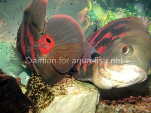 oscar-fish-1