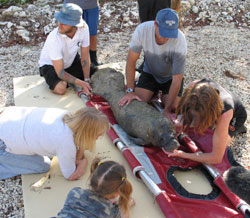 A previous manatee calf rescue: Dolphin Research Center, Grassy Key, Florida, www.dolphins.org