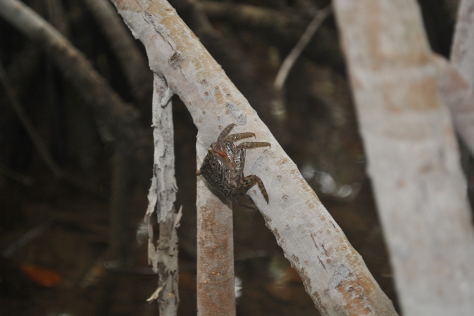 Mangrove Tree Crab Aratus pisonii