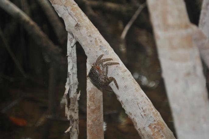 Mangrove Tree Crab Aratus pisonii