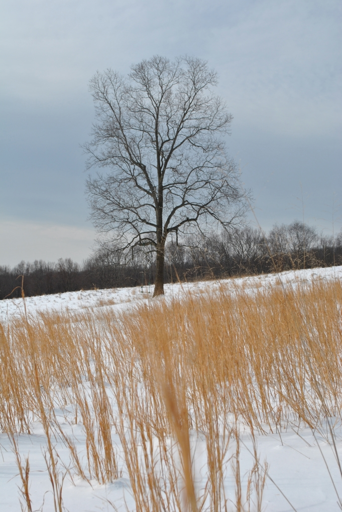"""Hickories can grow to 100 feet, attain a girth of three feet and live 200 years. """"The Dream Tree"""" Winter 2014"""